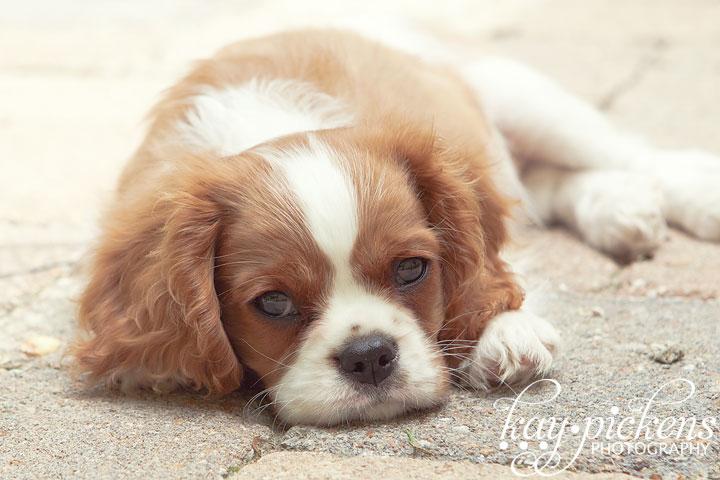 new cavalier puppy