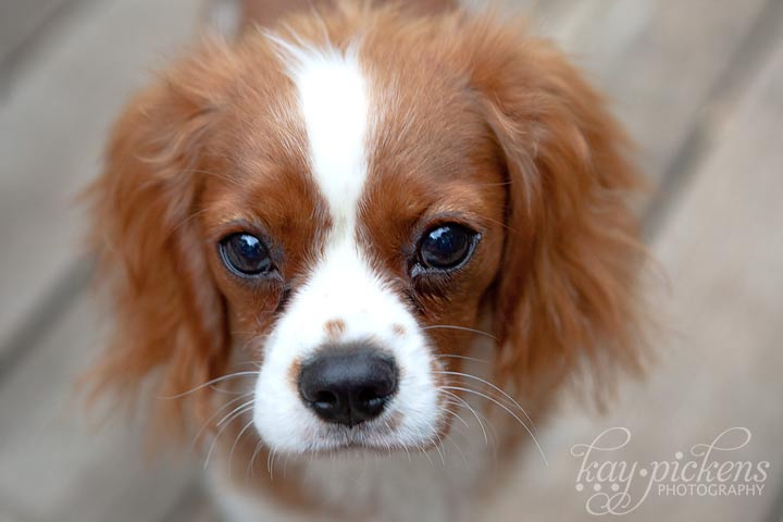 cavalier puppy close up