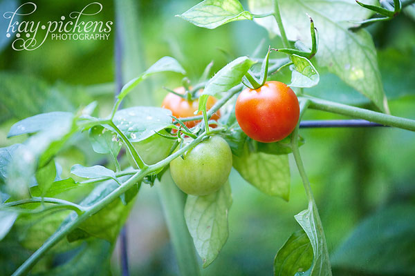 cherry-tomatoes-8151