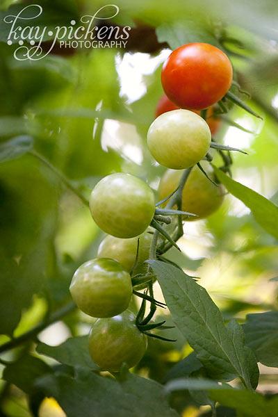 cherry-tomatoes-8153