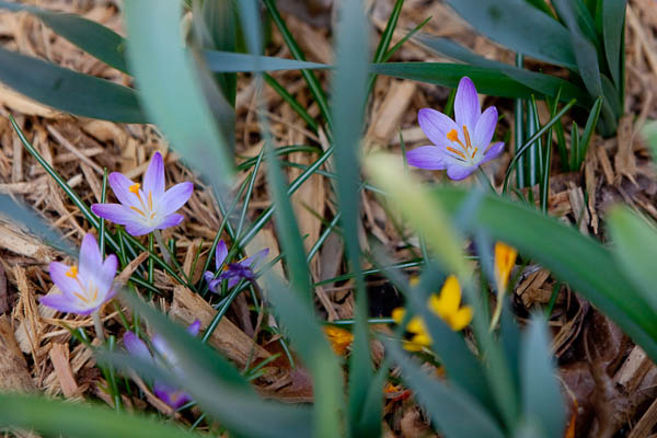 crocus in early spring