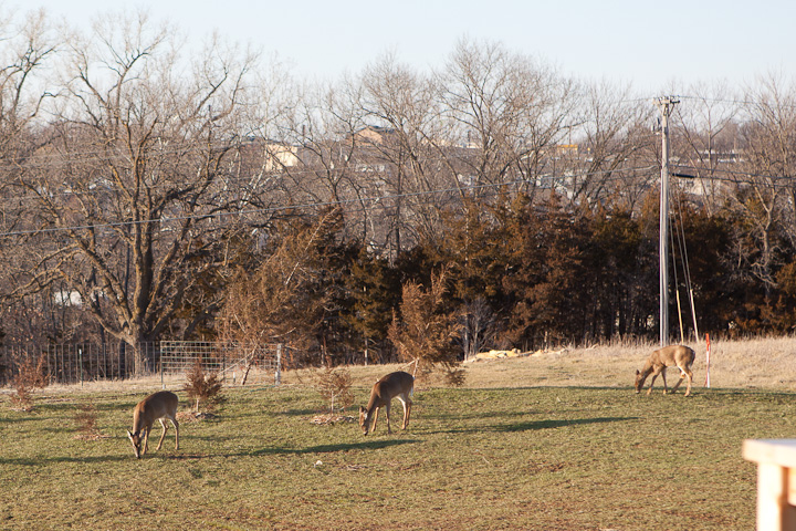 deer in yard in Columbia MO