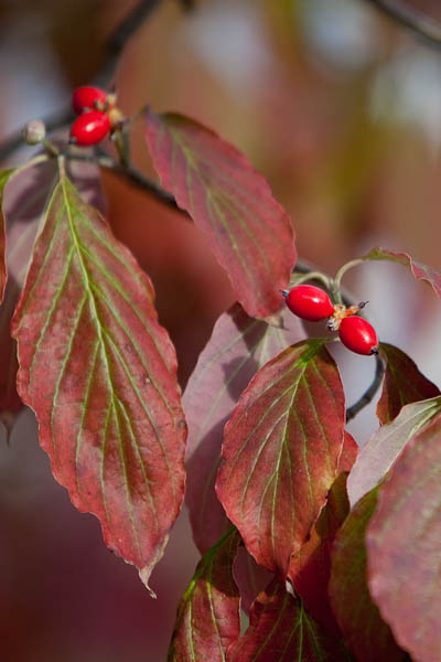 dogwood-leaves-8954