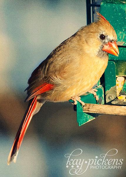 female-cardinal-4688
