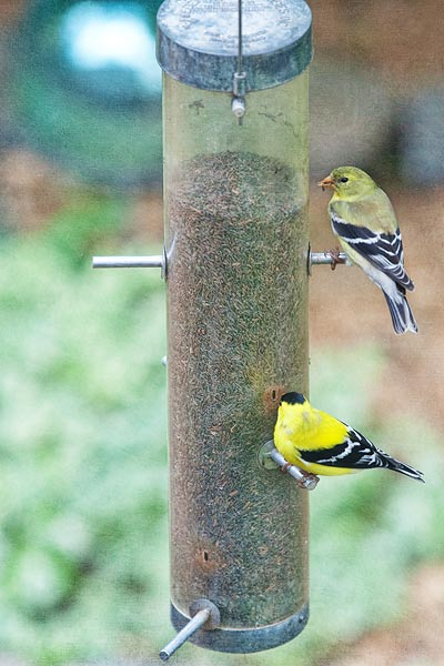 finches-7059
