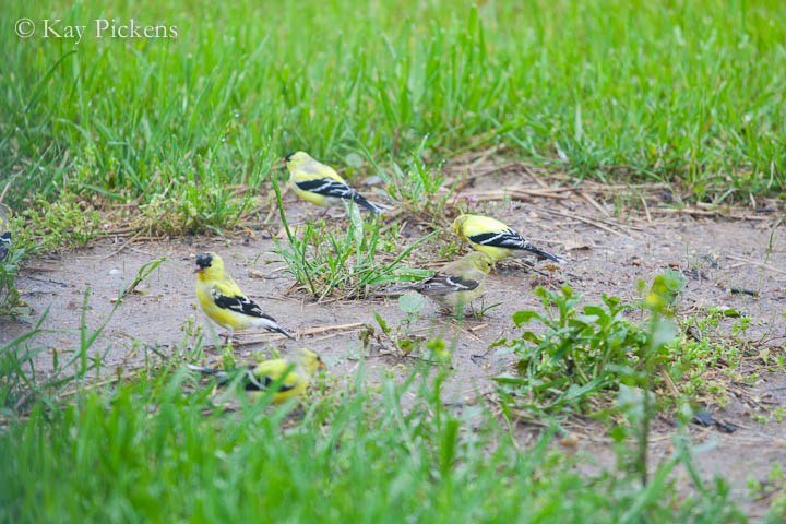 finches in grass