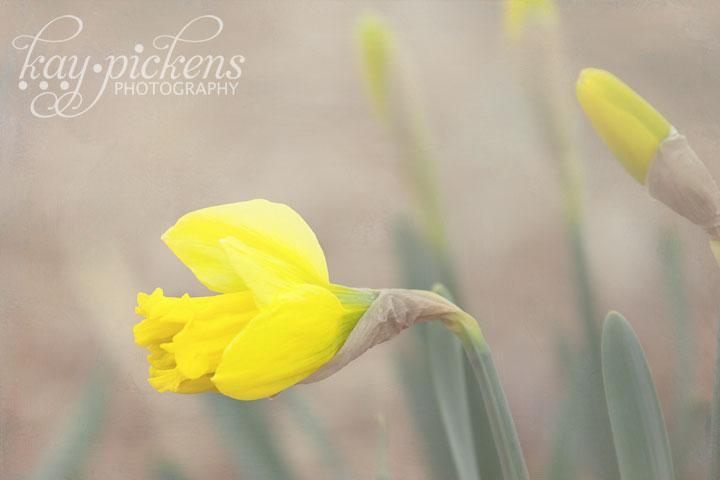 one daffodil bloom