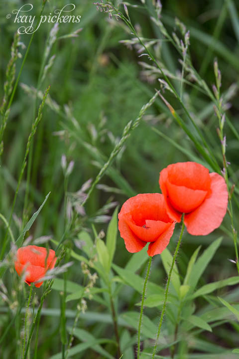 oranage poppies