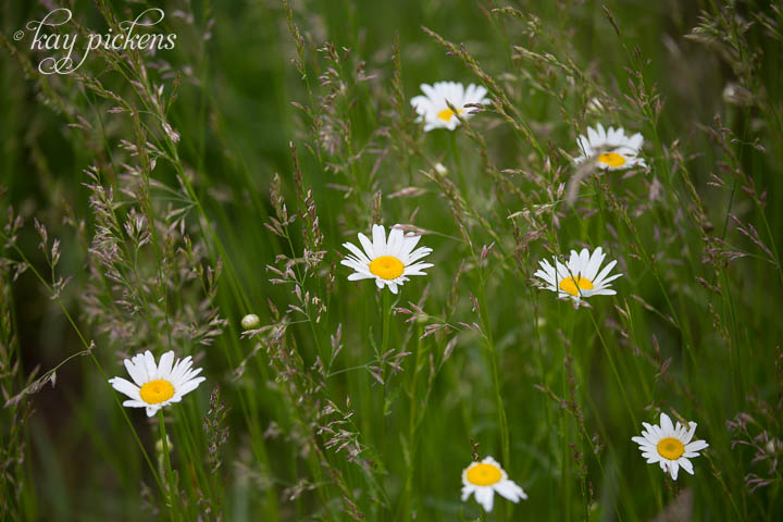 daisies in the meadow grass