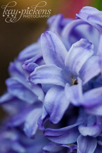 hyacith-6599