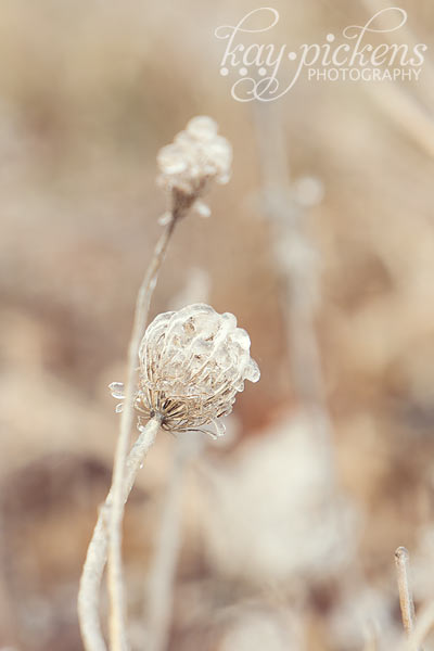 frozen thistle