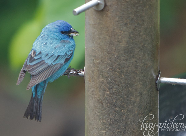 indigo bunting in spring in St. Louis