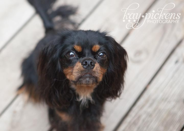 black and tan cavalier