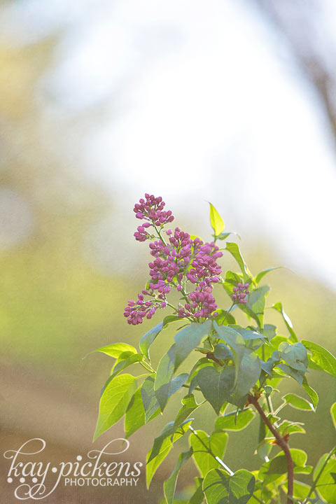 lilac in the spring sunlight