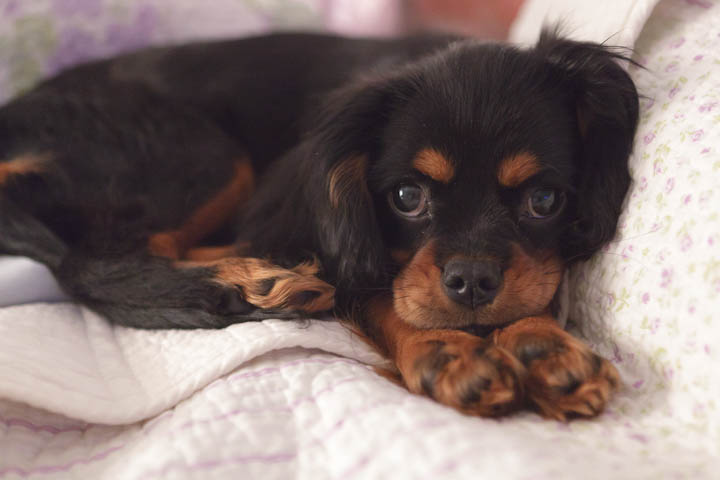 black and tan cavalier puppy
