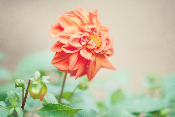 orange-flower-8797