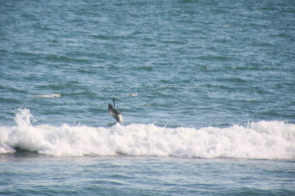 pelican diving in the surf