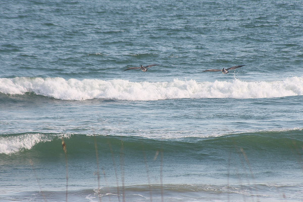 pelicans in the surf