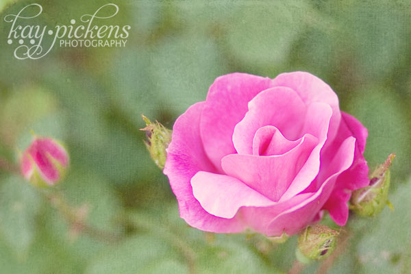 pink-rose-6973