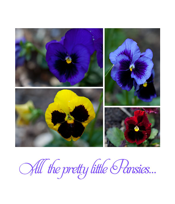 pretty-pansies