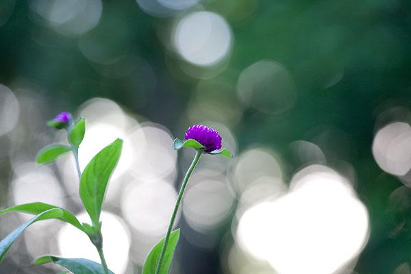 purple-bokeh-7959