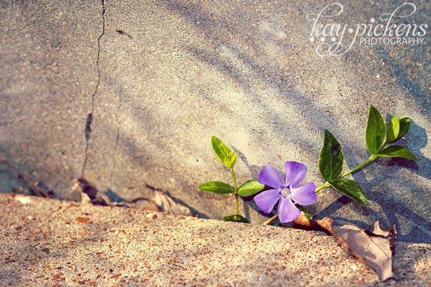 purple-flower-6096
