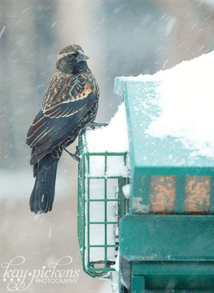 red winged blackbird in snow