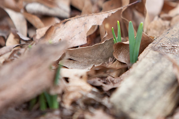 Daffodils popping up out of the ground