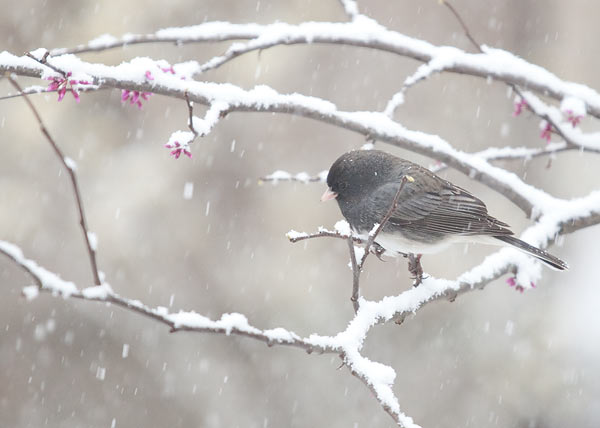 junco in spring snow
