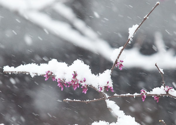 snow on redbud tree branch