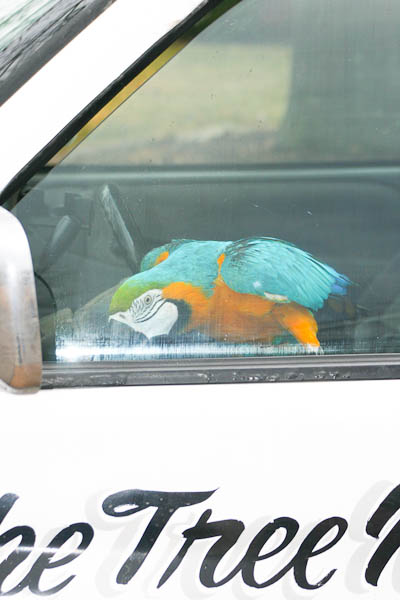 macaw in truck