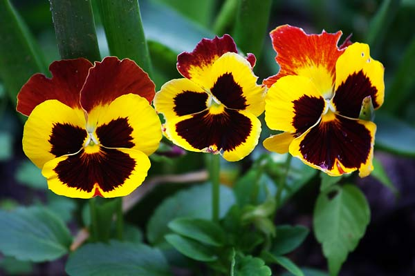 three-pansies-7069