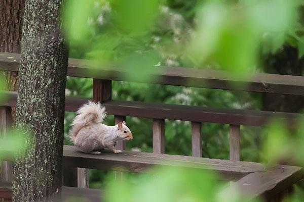 white-squirrel-6684