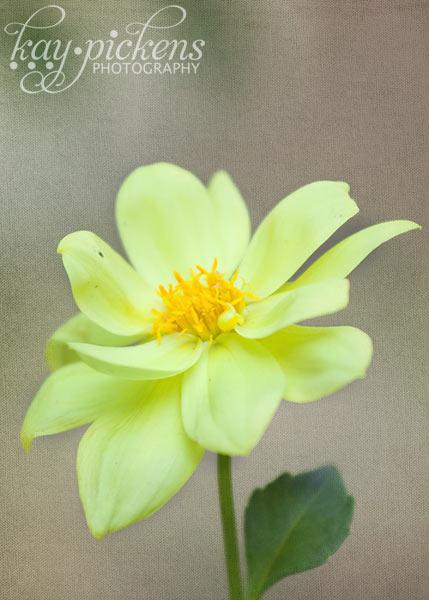 yellow-dahlia-6588