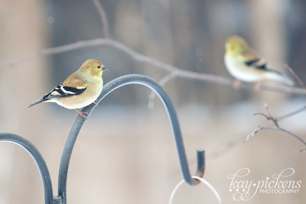 pair of finches at the bird feeder