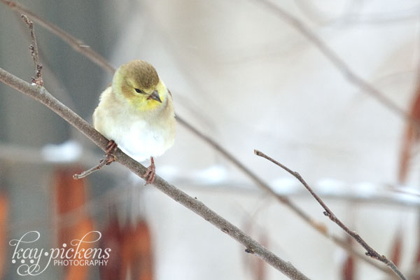 finch in winter on branch
