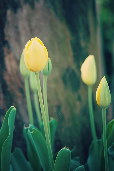 yellow-tulip-6487